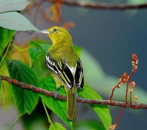Chim vàng nghệ