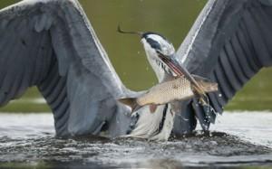 Chim diệc đang bắt cá