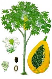 Cây và quả đu đủ, từ quyển Medicinal-Plants (1887) của Koehler