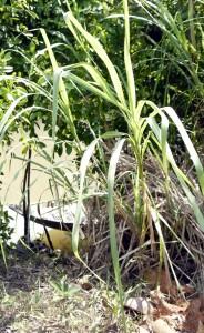 Cây nga mọc ven kênh. Ảnh chụp tại xã Bình Hàng Tây, Cao Lãnh, Đồng Tháp - Um A Hum
