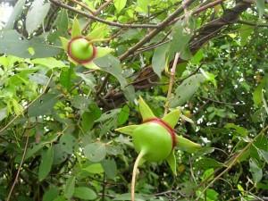 Cây và quả bần