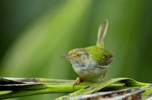 Chim chích bông