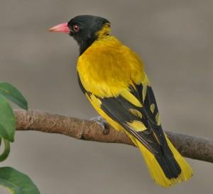 Chim Hoàng Anh (Chim Vàng Anh)