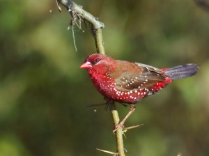 Một con chim manh manh