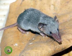 Chuột chù