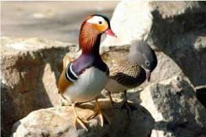 Đôi chim uyên ương