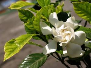 Lá và hoa dành dành