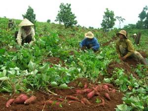 Thu hoạch khoai lang