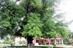 Một trong hai cây me ở bảo tàng Quang Trung