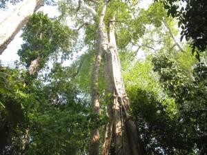 Cây gõ trong vườn quốc gia Cát Tiên
