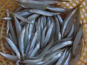 Cá lìm kìm nước ngọt