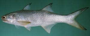 Cá nhụ