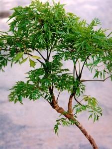 Một nhánh đinh lăng