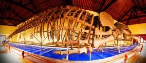 Bộ xương cá Ông trong đền thờ ở vạn Thủy Tú, Phan Thiết