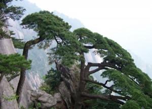 Loại tùng bách mọc trên núi