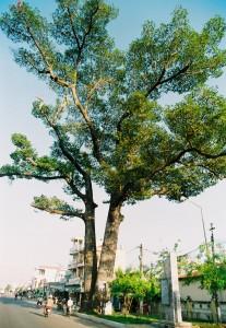 Cây dầu đôi ở Diên Khánh - Khánh Hòa