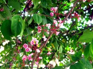 Lá và hoa khế