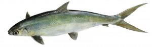 Cá măng