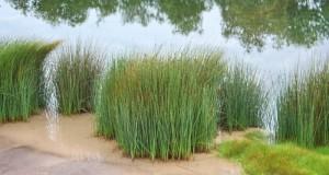 Đồng cỏ bàng ở Mộc Hoá, Long An