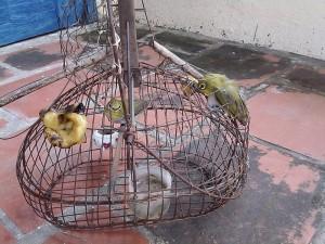 Bẫy chim bằng chim mồi