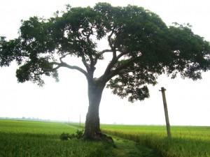 Cây trôi ở Thanh Hóa
