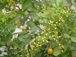 Hoa và quả ngâu